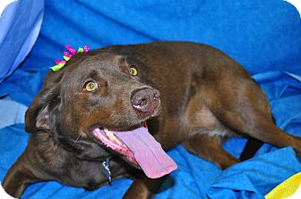 Labrador Retriever Mix Dog for adoption in Phoenix, Arizona - Coco