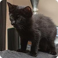 Adopt A Pet :: Beauty - Reston, VA