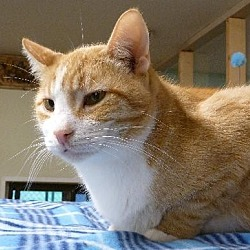 Photo 3 - American Shorthair Cat for adoption in Westville, Indiana - Maximus