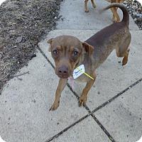 Adopt A Pet :: Boomer - Wyanet, IL