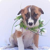 Adopt A Pet :: Ranger - Loomis, CA