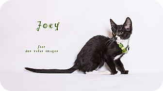 Domestic Shorthair Kitten for adoption in Riverside, California - Joey