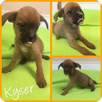 Jack Russell Terrier/Chihuahua Mix Puppy for adoption in Arlington, Texas - Kyser