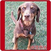 Adopt A Pet :: Godiva - Charlotte, NC