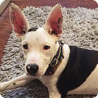 Adopt A Pet :: Dax! - Chicago, IL