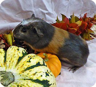 Guinea Pig for adoption in Alexandria, Virginia - Gretel