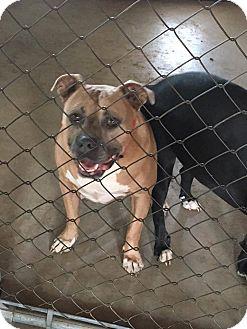 Pit Bull Terrier Mix Dog for adoption in Broken Arrow, Oklahoma - Big'en