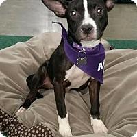 Adopt A Pet :: Chelsea - Detroit, MI