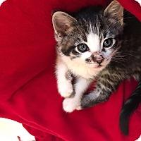 Adopt A Pet :: Hawk - Los Angeles, CA
