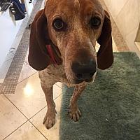 Adopt A Pet :: Buddy - Beverly Hills, CA