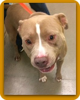 American Pit Bull Terrier Dog for adoption in Pampa, Texas - Toby Rasta 25290