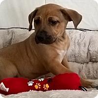 Adopt A Pet :: Mask Pei - Las Vegas, NV