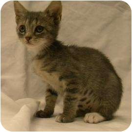 Domestic Shorthair Kitten for adoption in Gainesville, Florida - Sammy