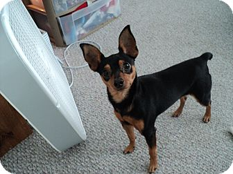 Miniature Pinscher Mix Dog for adoption in Studio City, California - Richie
