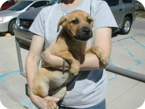 Labrador Retriever/Shepherd (Unknown Type) Mix Puppy for adoption in Crawfordville, Florida - Velvet