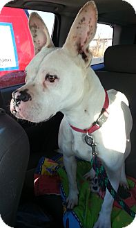 Boxer Dog for adoption in Bardonia, New York - Diamond