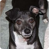 Chihuahua/Dachshund Mix Dog for adoption in Fresno, California - SNOOKI