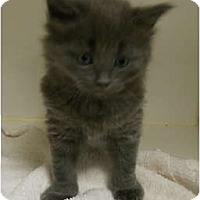 Adopt A Pet :: CreamPuff - Maywood, NJ