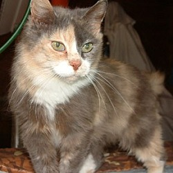 Photo 2 - Calico Cat for adoption in Frankenmuth, Michigan - Puddles- Cancer Survivor