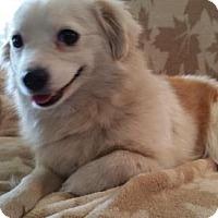 Adopt A Pet :: Nivanna - Nashville, TN