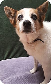 Papillon/Blue Heeler Mix Dog for adoption in Taylorsville, Utah - Honey