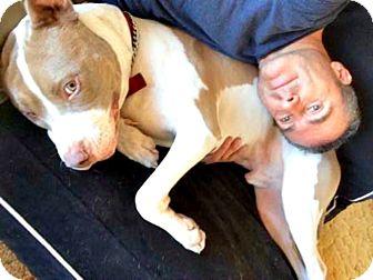 Mastiff/Hound (Unknown Type) Mix Dog for adoption in Redondo Beach, California - Apache is friendly!