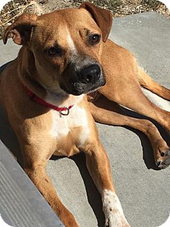 Australian Cattle Dog/American Pit Bull Terrier Mix Dog for adoption in Richmond, California - Charlie