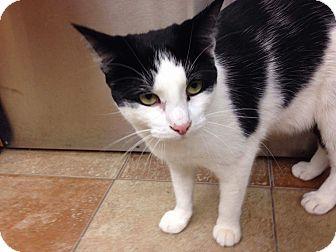 Domestic Shorthair Cat for adoption in Palm desert, California - Harmony