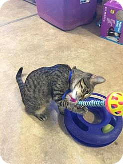 Domestic Shorthair Kitten for adoption in Hanna City, Illinois - Cooper