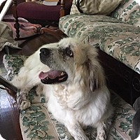 Great Pyrenees Mix Dog for adoption in Enfield, Connecticut - Luna