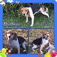Adopt A Pet :: Duchess-pending adoption - Manchester, CT