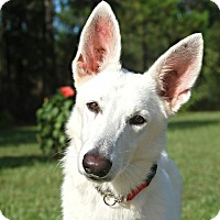 Adopt A Pet :: Scarlett - Ormond Beach, FL