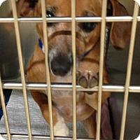 Dachshund Mix Dog for adoption in Zanesville, Ohio - 47915 Brutus