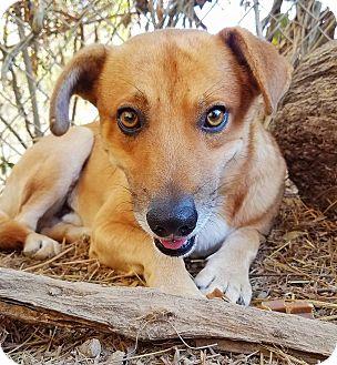 Basenji Mix Dog for adoption in Kingston, Tennessee - Moonshine