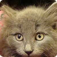 Adopt A Pet :: Caprice - Overland Park, KS