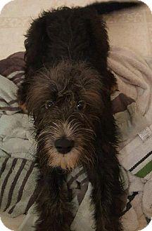 Shepherd (Unknown Type)/Hound (Unknown Type) Mix Puppy for adoption in Glen Burnie, Maryland - Dawson - ON HOLD - NO MORE APPLICATIONS
