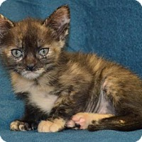 Adopt A Pet :: SugarPlum - Alpharetta, GA