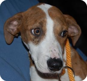 Catahoula Leopard Dog Mix Puppy for adoption in Brooklyn, New York - Ella