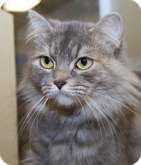 Domestic Longhair Cat for adoption in Irvine, California - Priscilla