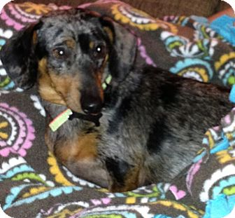 Dachshund Dog for adoption in Hazard, Kentucky - Roxy
