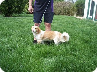 Basset Griffon Vendeen/Corgi Mix Dog for adoption in Germantown, Maryland - Anastasia