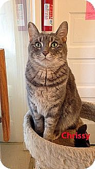 Domestic Shorthair Cat for adoption in Chicago, Illinois - Chrissy