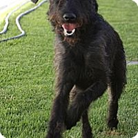 Adopt A Pet :: Yankee - Santa Ana, CA