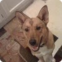 Adopt A Pet :: Foxy - Justin, TX
