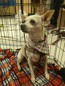 Chihuahua Mix Dog for adoption in Alhambra, California - Daisy