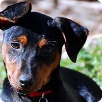 Adopt A Pet :: Chachi Arcola - Austin, TX