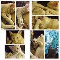 Adopt A Pet :: Cookie - Monrovia, CA