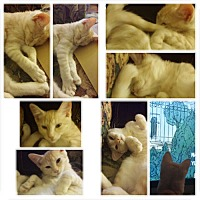 American Shorthair Cat for adoption in Monrovia, California - Cookie