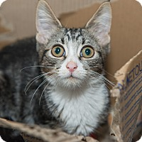 Adopt A Pet :: Tulip - New York, NY