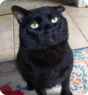 Domestic Shorthair Cat for adoption in Hampton, Virginia - Reggie